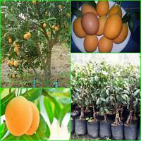 Tropic plant Thai Maprang Grafted Tree Bouea macrophylla Bouea burmanica :TP03