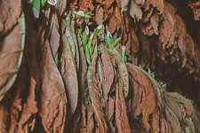 20g Virginia Tobacco 200,000 Seeds smooth  lot job resale garden smoking
