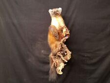 Marten Mount Taxidermy Fur Coyote Bobcat Red Fox Gray Fox Lynx New