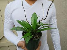 Hoya pubicalyx wax plant wax plant 4 inch pot