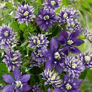 25 Double Dark Purple Clematis Seeds Flower Seed Flowers Perennial 97 US SELLER
