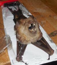 HIPPOSIDEROS DIADEMA REAL HANGING BACK BAT INDONESIAN TAXIDERMY DIADEM