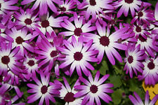 Senecio Senetti Baby Magenta Bicolor Jumbo Plug Plants x 3