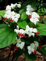 25White Red Bleeding Heart Seeds Flowers Perennial Flower Seed 589 US SELLER
