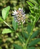 200 Samen Asklepios-seeds/® Tagetes minuta Gew/ürztagetes Mexikanische Riesentagetes Huacatay