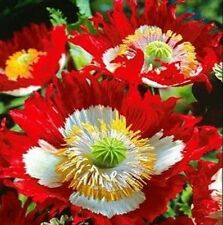 DANISH FLAG POPPY FLOWER SEEDS 100 FRESH SEEDS FREE USA SHIPPING