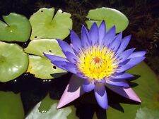 10 BLUE LOTUS Nymphaea Caerulea Asian Water Lily Pad Flower Pond Seeds *CombS/H
