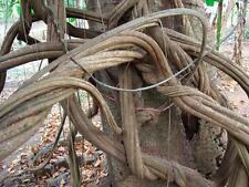 New listing 25 Banisteriopsis caapi seeds Tucunaca Strain Fresh Viable Guaranted Ayahuasca