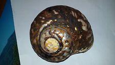 Conchiglia Shell  TURBO SARMATICUS  con opercolo   con  periostraco mm 104 large