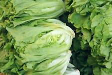 Lettuce Seeds - PARIS WHITE COS  - Heirloom - Easy to Grow - 100+ Seeds