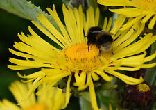 Inula racemosa ~ Giant Perennial   ~ grows to 8 ft !!