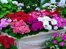 Geranium Seeds Film Coated MultiBloom Mix Multi Bloom 15 Geranium Seeds