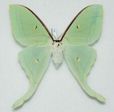 Saturniidae - Actias ningpoana - female #2