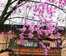 5 Lily Magnolia seeds Magnolia liliflora * Fragrant *  Ornamental CombSH M55