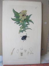 Vintage Print,BEETLE FLOWER 486,British Entomology,John Curtis London,1835