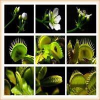 Fly Trap Carnivorous Plant 1 bag of Seeds Wholesale Gardening JARDINERIA Venus