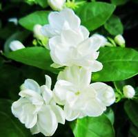 30 PCS Seeds White Arabian Jasmine Flowers Plants Bonsai Potted Garden 2019 New