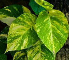 Epipremnum House Plants