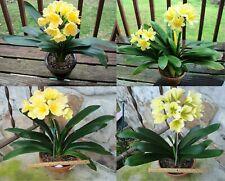 2 Amaryllis Usa Clivia Seeds Tk Daruma Yellow X Tk Daruma Yellow