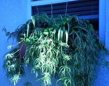 New listing 12 Spider/Airplane Plants Babies 12, Houseplant, Baskets, Clear Air, Ship Daily