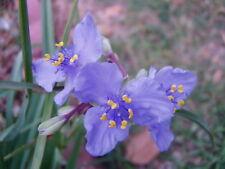 Tradescanta bracteata Prairie Spiderwort RARE 15 seeds