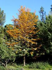 Grevillea robusta - 100 seeds, gold flowering silky oak