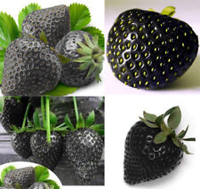 Black Strawberry Seeds Super Sweet Fruit Seeds Bonsai Plants Seeds Strawberry