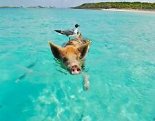 METAL REFRIGERATOR MAGNET Pig Swimming In Ocean Seagull On Back Bird Hog