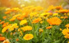 CALENDULA OFFICINALIS ou Souci lot 50 Graines-Seeds BIO King Marigold Seeds