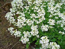800 White Alpine Rockcress Aubrieta Rock Cress Arabis Alpina Flower Seeds + Gift