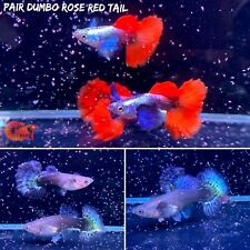 1 Trio - Fancy Dumbo Rose Red Tail Live Aquatic Guppy Fish Quality Top Grade VIP