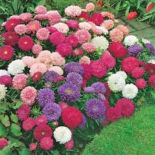 Aster Perfection Mix seeds, 50 Seeds, Perfect cut flower,