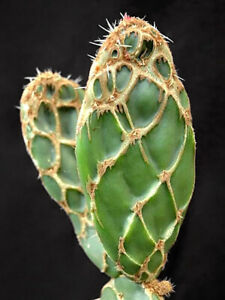 Opuntia zebrina cactus Succulent potted Home live plants high 6-8cm