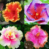 100Pcs Rare Hibiscus Seeds Giant Dinner Plate Flower Garden Exotic Flowery & 10 Rare Purple Yellow Hibiscus Seeds Giant Flower Tropical Garden ...