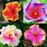 BG_ 100Pcs Rare Hibiscus Seeds Giant Dinner Plate Flower Garden Exotic Flowery