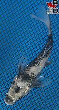 """4"""" BUTTERFLY MATSUKAWABAKE Live Koi Fish Pond Garden BKD"""