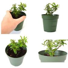 "Dwarf Pomegrante Tree Container/Patio/Bonsai Size Graden Plant - 4""Pot Best Gift"