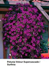 PETUNIA HYBRIDA BURGUNDY 15 SEED Hanging Baskets Containers SUPER Cascading GIFT