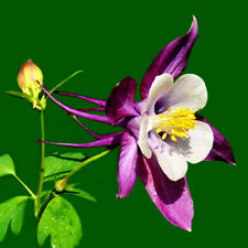 50 Purple Columbine Seeds Aquilegia Vulgaris Garden Flowers