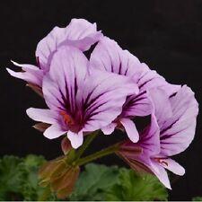 Pelargonium suburbanum / Rock Pelargonium / 10 Seeds