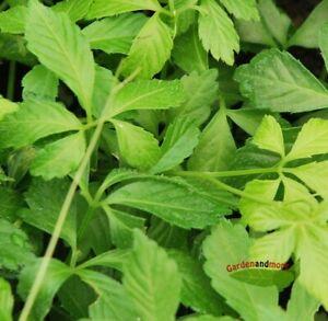 Jiaogulan Pflanze der Unsterblichkeit chin. Heilpflanze