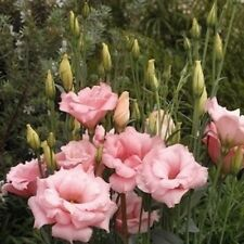 Lisianthus Double Pink Seeds -Rare,Stunning,Big Flowers