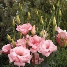 Lisianthus Double Pink Seeds -Rare,Stunning,Big Flowers
