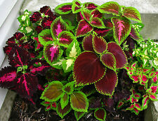 Flower Seeds COLEUS - Improved RAINBOW MIXED -Ornamental Plant -Pack of 25 Seeds