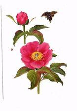 Paeonia Bakeri - Royal Horticultural Society Flower Postcard