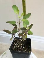 Red Holy Basil Ocimum tenuiflorum Krishna Tulsi Seedling Live Starter Plant, USA