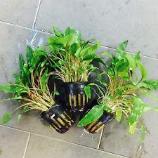 "3x Cryptocoryne Wendtii ""Green"" Potted - Aquarium Plant - Tropical - Easy Grow"