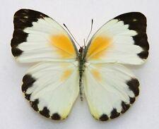 New listing Butterfly  x1 female Nepheronia argia argia (Ghana)  form C