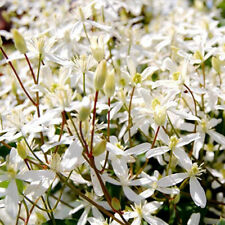 Sweet Autumn Clematis Seeds 100PCS Home Garden Plants Flowers White Color DIY