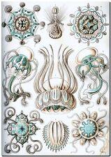 "ERNST HAECKEL CANVAS PRINT Art Nouveau Nature Sea Life 24""X 16"" Narcomedusae"